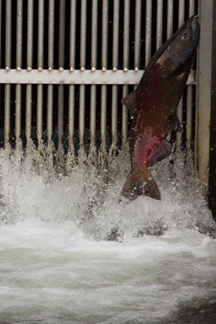 Close-up of a red-sided Coho salmon jumping into the gate.