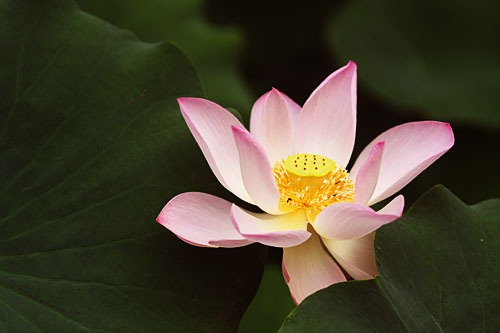 A pink lotus flower set against dark green leaves.