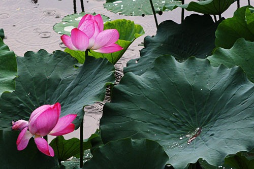 Pink lotus flowers and huge leaves in the rain.