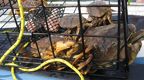 A pile of Dungeness crabs in a trap.