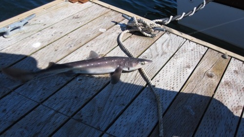 A 2.5 foot dogfish shark on the dock.