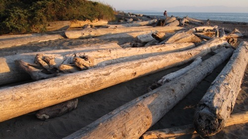 Huge driftwood logs strewn on the beach at sunset.