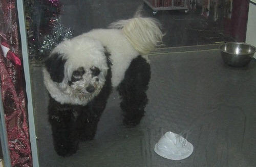 Poodle dyed to look like a panda bear