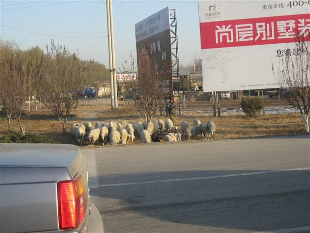 Sheep grazing by side of road near Beijing