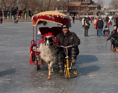 Vendor on an ice bike guiding his alpaca pulled sleigh.